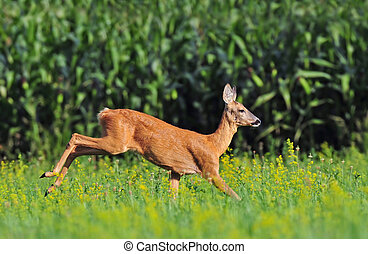 Roe deer - Photo of roe deer running