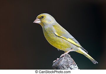 Greenfinch - Photo of greenfinch standing on a tree branch