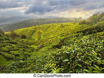 Tea Plantation in Asia