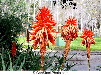 Ramat Gan Park Aloe 2007 - Beautiful Red Aloe flowers in...