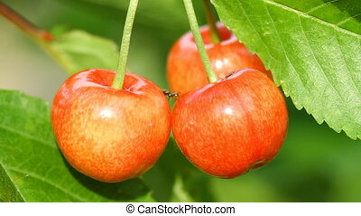 Sweet Cherry and Ant