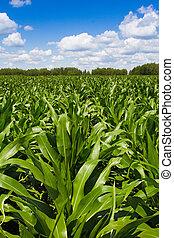 Corn field - Field growing corn Sunny summer day Landscape...