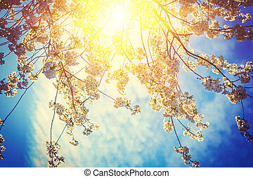 sun translucent through branches of cherry tree with blossoming