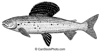 Arctic Grayling Thymallus arcticus 