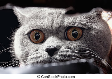 short-haired British gray cat - Yellow cat's eye spying out...