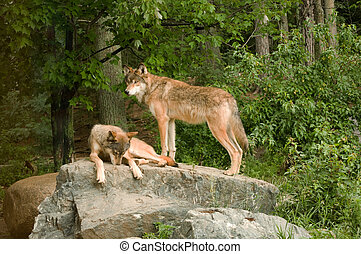 two rocky mountain wolves on rock - two rocky mountain...