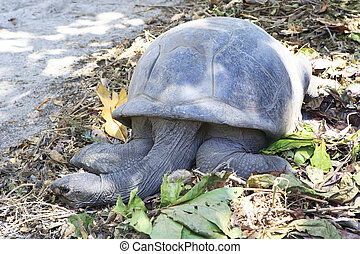 Aldabra giant tortoise resting in island Curieuse....
