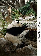 panda bear resting