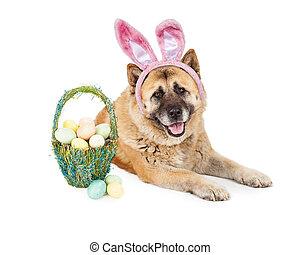 Easter Bunny Akita Dog - A cute large Akita breed dog...