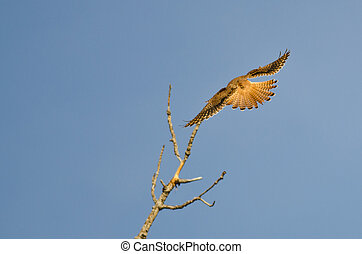 Female American Kestrel With Tail Feathers Fanned Out