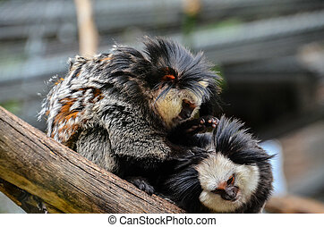 Small Black and White Monkey - Callithrix Geoffroyi Small...
