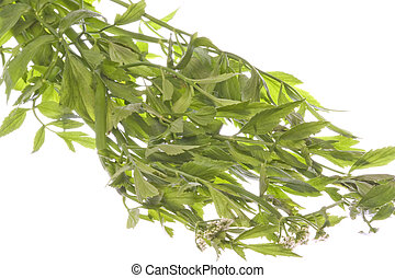 Thai Basil Leaves Isolated - Isolated image of Thai Basil...