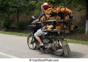 Chicken Transport - Image of a farmer transporting his...
