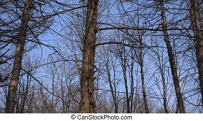 Naked Branches of a Tree Against Blue Sky Close Up,...