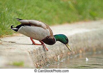 mallard drake preparing to jump in the lake ( Anas...