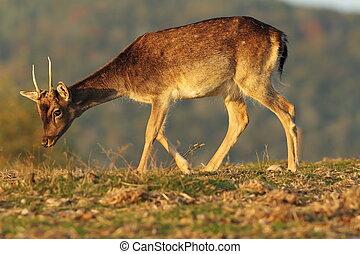 young fallow deer buck in beautiful light - young fallow...