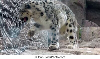 Leopard Walking in the Cage