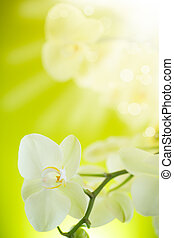 Beautiful white phalaenopsis flowers on a green background