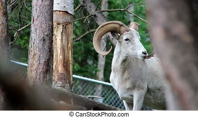 Rocky Mountain Bighorn Sheep Ram with large spiral horns