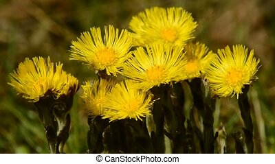Coltsfoot, Tussilago farfara, medicinal plant with flower in...