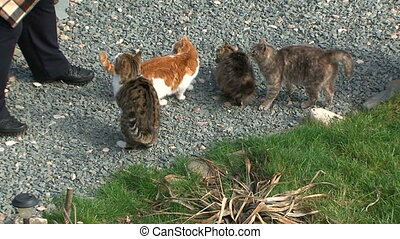 Man Feeding A Group Of Hungry Homeless Cats Outdoors - This...