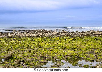 ballybunion beach seaweed covered rocks - seaweed covered...