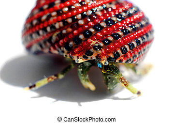 Hermit crab in beautiful red-black shell