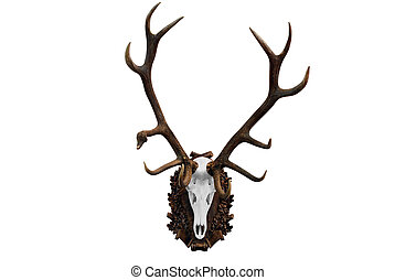 deer skull with big horns hunting trophy isolated