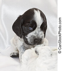 English Cocker Spaniel Puppies. - English Cocker Spaniel...