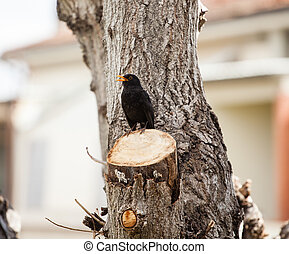 Blackbird, turdus merula - Blackbird, turdus merula, on the...