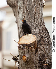 Blackbird, turdus merula. - Blackbird, turdus merula, on the...