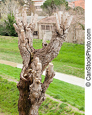 Close up of Pruned Tree, detail of the pruning of the...