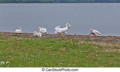 goose bird riverbank river water rural stack waterfowl -...