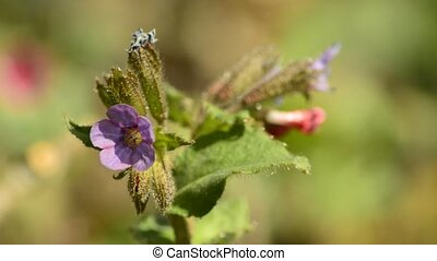 Lungwort, Pulmonaria officinalis, blooming, medicinal plant...