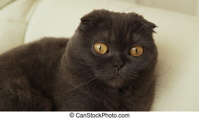 Portrait of a Scottish fold cat on a sofa