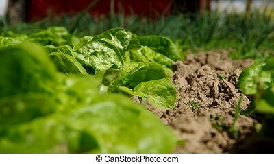 Green lettuce salad in the garden in summer