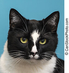 Beelzebub the cat. - Close-up of a black and white cat wutg...