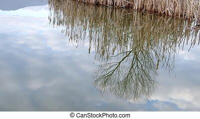 Reeds reflection on the pond - Reeds and tree reflection on...