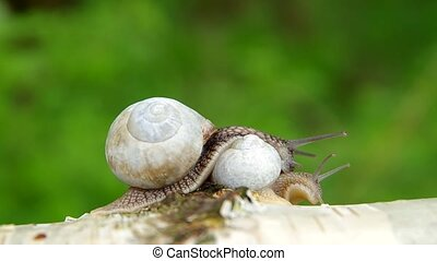 Two snails on birch wood