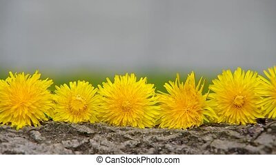 Dandelion flowers on a wooden bark in the garden