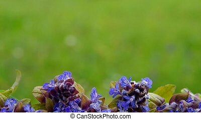 Blue spring flowers and green background.