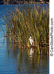Great White Egret in SeaGrass