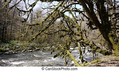 Mountain River among Trees and Stones in Gorge 1 - Mountain...