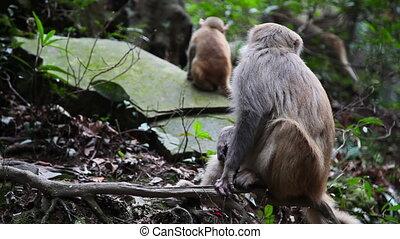Wild monkey in Wulingyuan mountain park