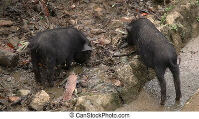 Two pigs - Two small pigs eat