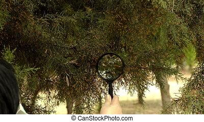 Masked botanist studying at cedar - Masked botanist is...