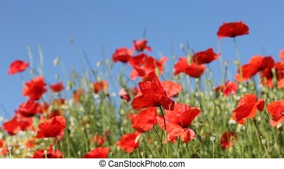 Red poppies with blue sky - Red poppies in the breeze on a...