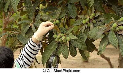 Pomologist looking at loquat tree - Pomologist is carefully...