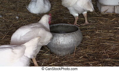 chicken in farm, feeder