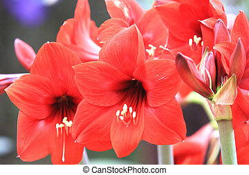 Amaryllis,Knight star lily - Amaryllis,beautiful red flowers...